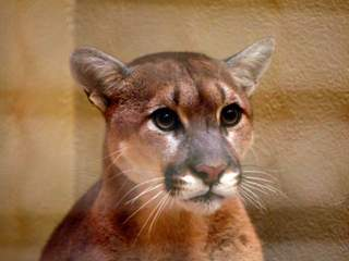 Mountain Lion_20110426140642_JPG