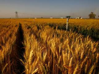 Okla. Wheat harvest expected to be best in years