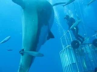Is this the largest shark ever recorded?