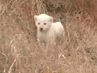 VIDEO: Rare white lion caught on camera