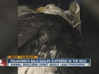 Lead poisoning eagles in eastern Oklahoma