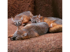 OKC zoo asks for publics help in naming foxes