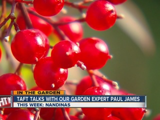 Paul James talks about the rugged nandina