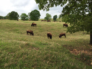 Buffalo thriving in Green Country