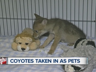 Game wardens search for coyote pups