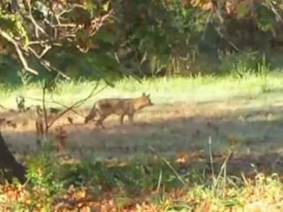 Seen a coyote? Residents reporting sightings