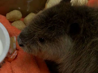 Orphaned baby beaver headed to Oklahoma Aquarium