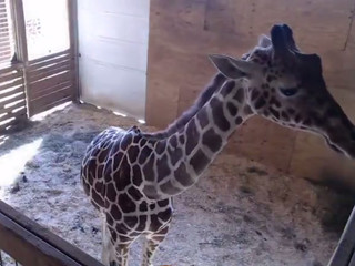 LIVE CAM: Awaiting birth of baby giraffe