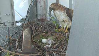 WATCH: Baby hawk in nest on KJRH tower