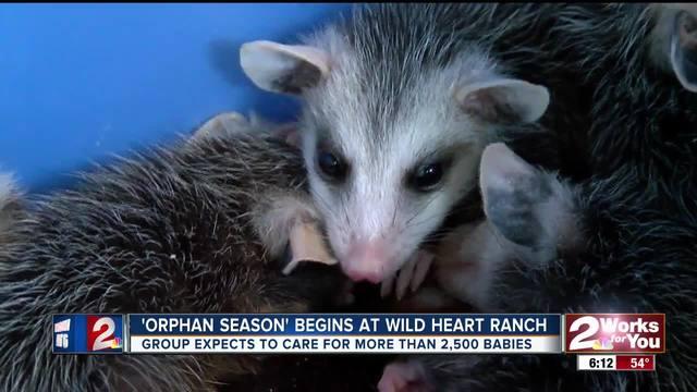 -Orphan Season- begins at Wild Heart Ranch