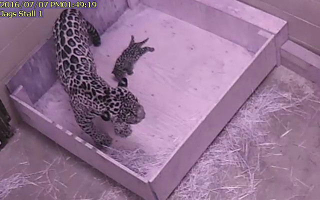 Captivating Baby Jaguar Welcomed Into Tulsa Zoo Family As Part Of The Jaguar Species  Survival Plan