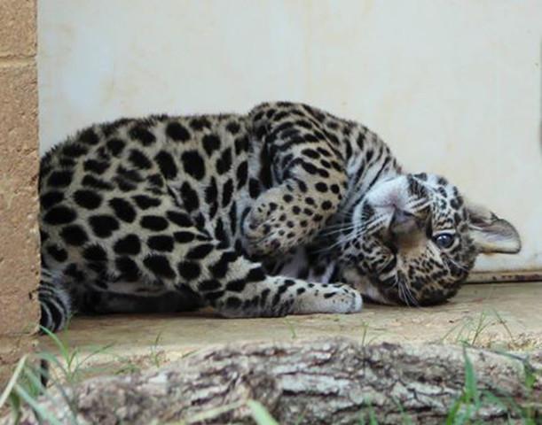 Tulsa Zoou0027s Female Baby Jaguar Named After Deceased Father Bebeto