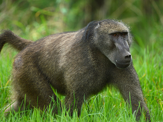 OU to end baboon research program