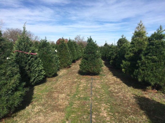 Christmas tree farms face shortage
