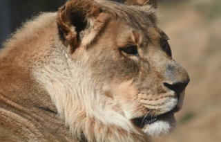 Test reveals why female lion sprouted a mane
