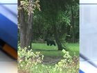 Black bear spotted in Ft. Gibson