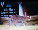 Woman spots large bobcat in Jenks