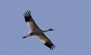 Endangered whooping cranes to fly through Okla.